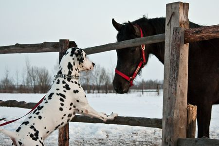 photo of the dalmatian dog and farm horse outdoor in winter Stock Photo