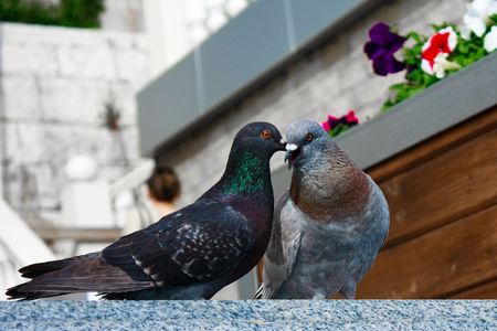 two pigeons kissing and having good time in summer photo