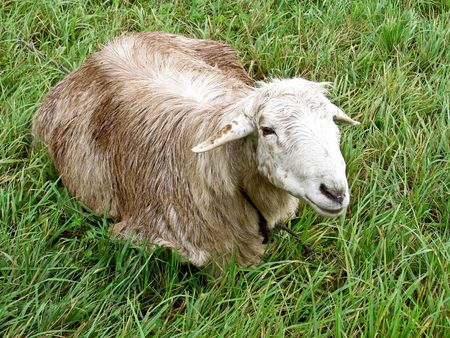 photo of the cute lamb on the grass Stock Photo - 5163115