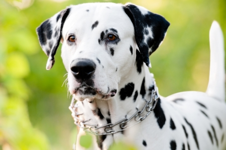 Beautiful young dalmatian dog standing with his front to the camera. Summer or spring green foliage in background photo