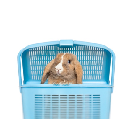 Little funny bunny peeping out of blue basket. Isolated on white background with place for copy. photo