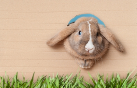 bunny rabbit: Cute and beautiful rabbit peeking out of the hole in cardboard. Green grass in foreground. Lots of copy space. Stock Photo