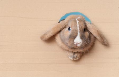 Leuke en mooie konijn gluren uit het gat in karton. Veel van de kopie ruimte.