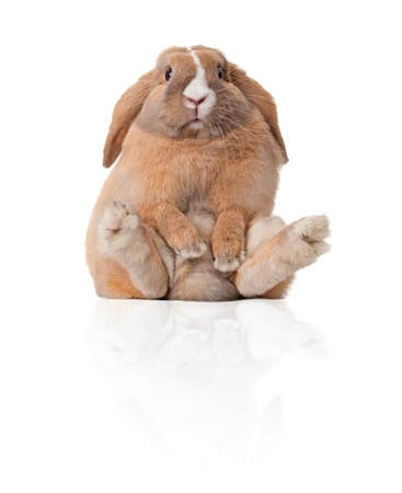 Cute and beautiful rabbit sitting. Isolated on white background, reflection, a lot of copy space.