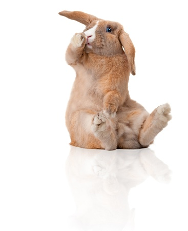rodents: Cute and beautiful rabbit sitting. Isolated on white background, reflection, a lot of copy space. Surprised or shocked, paw at his mouth.