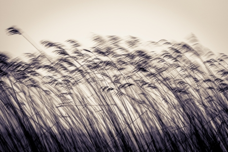 wind down: Many black cane stems in motion in evening or at twilight. Dark reed moving down wind on light sky background in sepia. Dusk and gloomy view of plants. Natural backdrops and wallpapers. Stock Photo