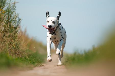 perro corriendo: Vista frontal del Exuberante perro dálmata ejecuta en el camino hacia la cámara