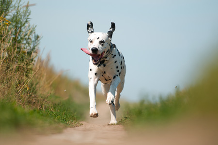 Front View of Exuberant Dalmatian Dog Running on Path Towards Camera