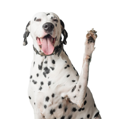 A funny and cheerful dalmatian with a lot of black spots waves its paw like greeting somebody. Its mouth is open and pink tongue is hanging out.