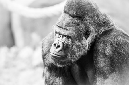 anthropoid: Black and White Portrait of Gorilla. Animal Face.