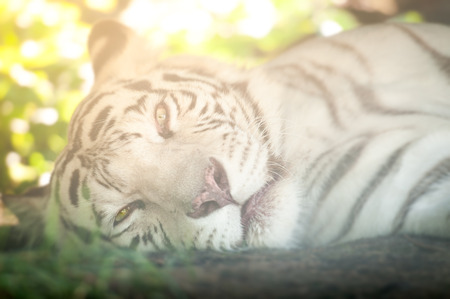 recessive: Close Up of White Tiger Lying Down on Side Looking at Camera Stock Photo