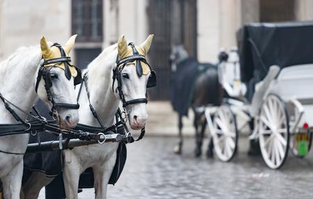europe travel: Pair of white horses and retro carriage on stefansplatz in Vienna, Austria. Europe travel.