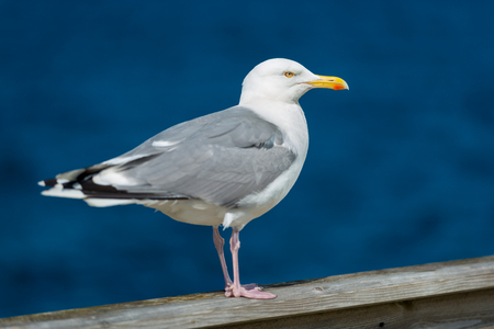 Seagull standing on railing at seaside. Blue water in background and bird in foreground. Фото со стока