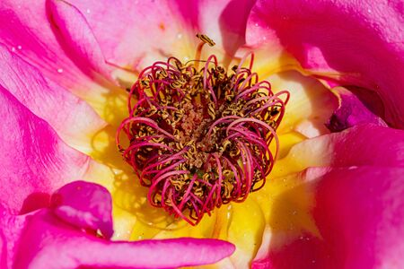 Sublim rose in spring, close-up, macro, dominant rose color