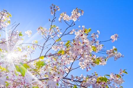 Cherry blossom , pink sakura flower isolated in sky background