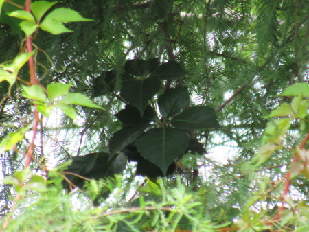 Hidden Ivy