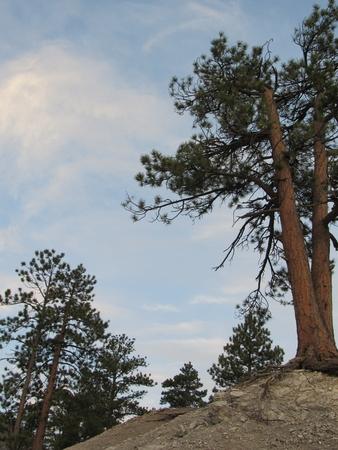 Tree Growing Out of the Rocks 版權商用圖片