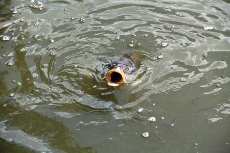 pez carpa: Una carpa caza algo de comer en un lago natural en un parque cercano a Viena