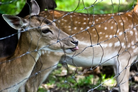 A deer cheekly showing its tongue next to the mother animal photo