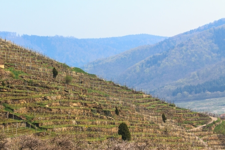 loess: Vinyard of loess terraces in the famous valley Wachau, Austria