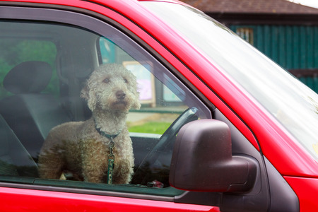 look inside: An intent dog waiting for his owner in a car