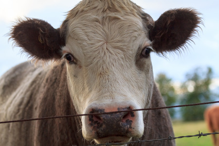 A portrait of a cow behind a fence on the grazing land photo