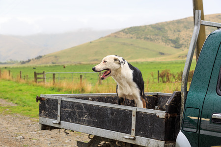 A crossbreed shepherd sheepdog at the back of a pickup truck in the rain