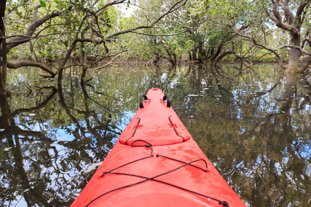 cayak: Cayaking in a mangrove forest in Paihia, New Zealand, at rising tide