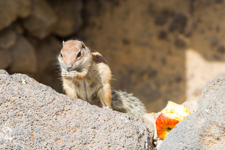 munching: A munching squirrel holding a piece of an apple in its hands Stock Photo