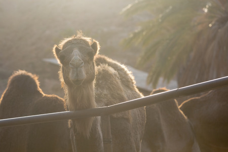 gold facial: A portrait of a camel at sunset