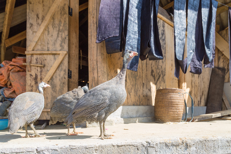 Black guinea fowls in Sapa village in Vietnam with indigo blue cloth in the back
