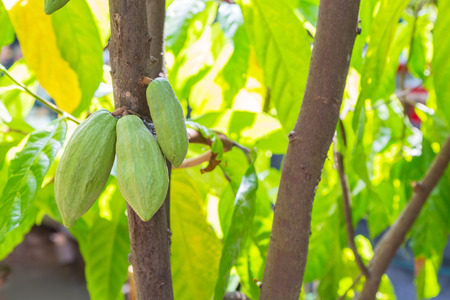 Green cocoa fruit hanging on a tree in Vietnam Imagens