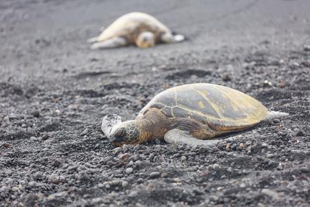 Sleeping turtles on Punaluu black sand beach on the island Big Island, Hawaii