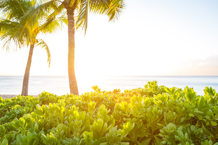 A bush at sunset at a beach on Maui, Hawaii