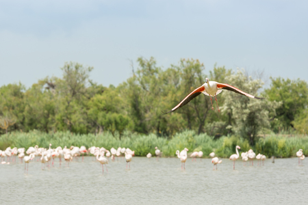 One Flamingo with spread wings in flight from below on blue sky in the ornithological park of Camargue, Provence, France Imagens - 106514649