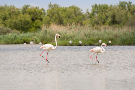 Two flamingos wading the water in the ornithological park of Camargue, Provence, France Imagens