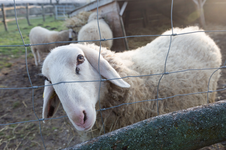 A white sheep on a farm looking through the fence Imagens - 107313177