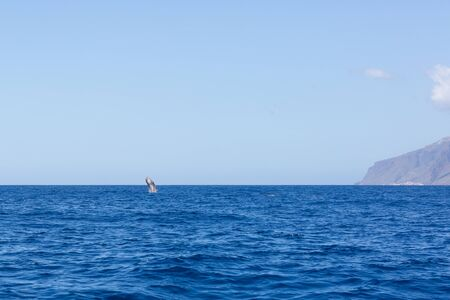 Sperm whale jumping out of the water near the coast of Madeira, Portugal