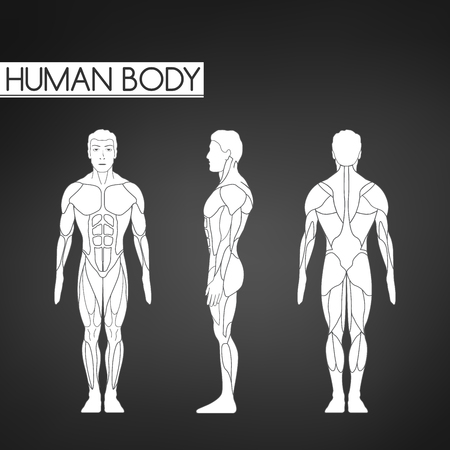 Human body muscle illustration.