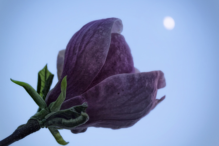 moon flower: Purple magnolia flower with a green leaf under the moon, shallow depth of focus.