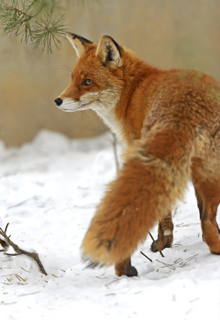 cautious: Red fox in natural conditions of nature Stock Photo
