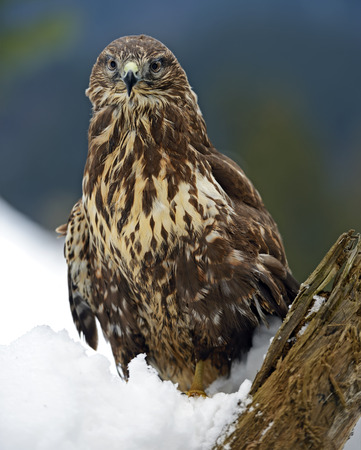 Common Buzzard (Buteo buteo) sitting on a branch in winter. photo