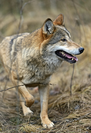 gray wolf: Gray Wolf in the woods