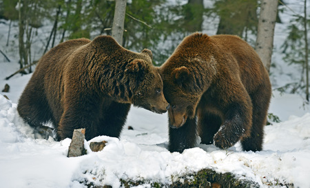 Brown bear in the woods in winter photo