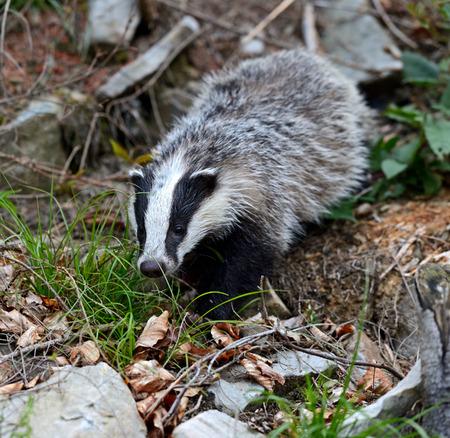 Badger in their natural habitat