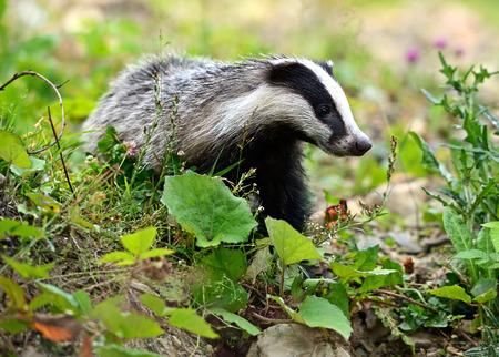 Badger nel loro habitat naturale