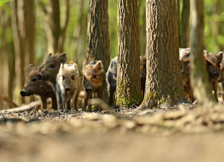 Wild boar in their natural habitat in the spring photo