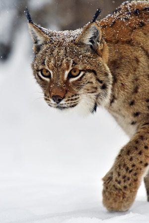 Wild Lynx in the winter forest photo