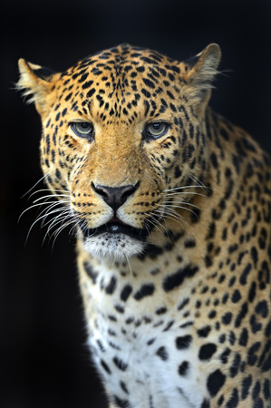 Portrait of leopard in its natural habitat photo