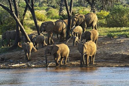 shroud: Afrikanskfy elephant in their natural habitat . Kenya .
